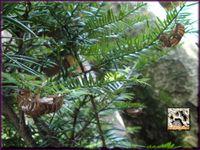 セミ麻呂の木?2010 a.jpg